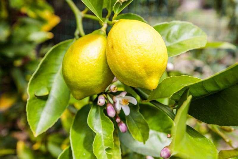 23-Creekside-lemons