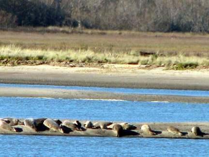 Sea lions sm 0179