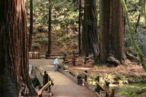 Path in Muir Woods trail with giant redwoods