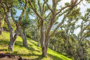 Hillside with Oak Trees at 10 Pleasant Ave, Corte Madera.