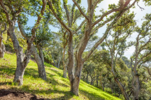 Oak Trees at 10 Pleasant Ave, Corte Madera