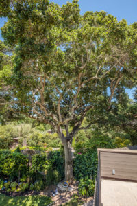 Tree 420 Oakdale Ave Corte Madera, CA